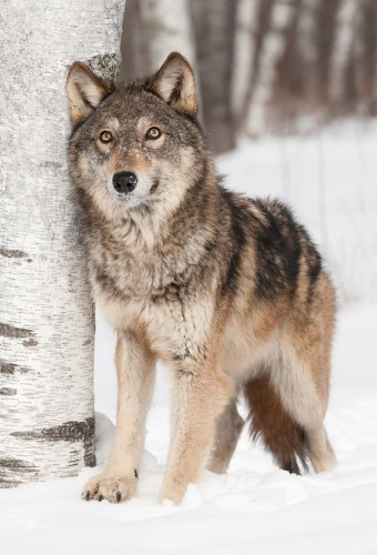 The Nature Of Wolves And The Nature Of Man
